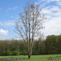 Jüngere Gewöhnliche Esche (Fraxinus excelsior) Wuchsform
