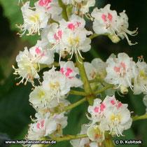 Blüten der Rosskastanie (Aesculus hippocastanum)
