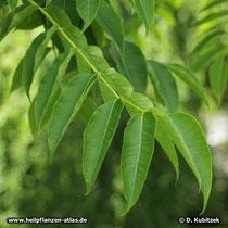 Amur-Korkbaum (Phellodendron amurense) Blatt