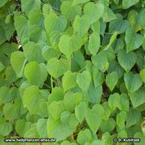 Japanische Yamswurzel (Dioscorea nipponica)