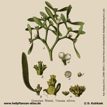 Mistel; Viscum album; Historisches Bild