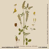 Echter Steinklee, Melilotus officinalis, Historisches Bild