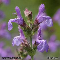 Spanischer Salbei (Salvia lavandulifolia), Blüten