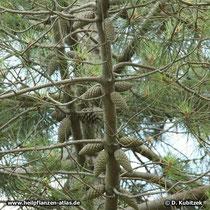 Strand-Kiefer (Pinus pinaster), Zapfen in sternförmiger Anordnung