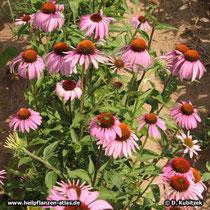 Purpurfarbener Sonnenhut blühend