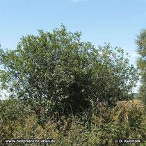 Echter Faulbaum (Frangula alnus), Standort hier am Rand eines Moors in Oberbayern