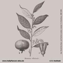 Benzoe-Storaxbaum (Styrax benzoin; synonym: Benzoin officinale), historisches Bild