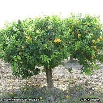 Zitrone (Citrus limon), Wuchsform Baum