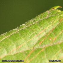 Sommerlinde (Tilia platyphyllos), Blatt mit feine Behaarung