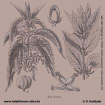 Große Brennnessel (Urtica dioica), historische Grafik