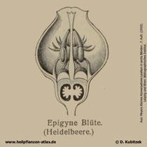Blüte der Heidelbeere; Vaccinium myrtillus; Historisches Bild