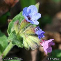 Echtes Lungenkraut (Pulmonaria officinalis, Blütenstand