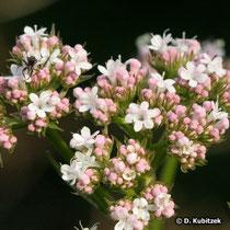 Arznei-Baldrian Blütenstand