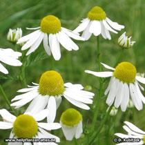 Echte Kamille Blütenstände (Blütenkörbe)