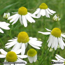 Echte Kamille (Matricaria recutita), Blütenstände (Blütenkörbe)