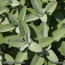 Echter Salbei (Salvia officinalis), junge Pflanze