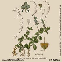 Echter Ehrenpreis (Veronica officinalis); Historische Grafik