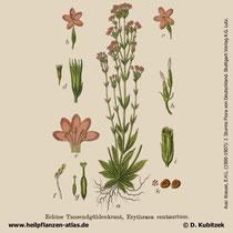 Echtes Tausendgüldenkraut, Centaurium erythraea, Historisches Bild