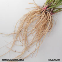 Wiesen-Schlüsselblume (Primula veris), Wurzel