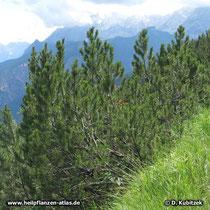 Gebogener Wuchs von Latschenkiefern (Pinus mugo) auf einem Berghang