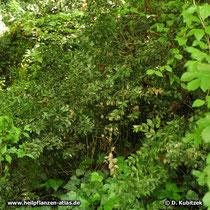 Maeusedorn (Ruscus aculeatus), Standort im Wald