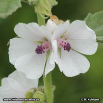 Echter Eibisch (Althaea officinalis), Blüten