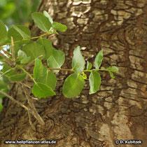 Seifenrindenbaum (Quillaja saponaria) ältere Borke