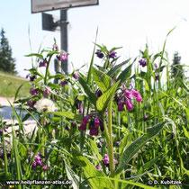 In den Apen finden sich Beinwell-Standorte bis zu einer Höhe von 1.000 m, so wie hier neben einem Parkplatz bei Garmisch-Partenkirchen (Oberbayern, ca. 800 m).