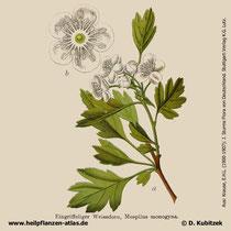 Eingriffeliger Weißdorn, Crataegus monogyna, Historisches Bild