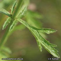 Echtes Eisenkraut (Veronica officinalis), Blatt