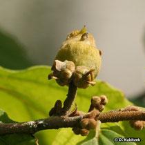 Zaubernuss (Hamamelis virginiana), Frucht