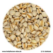 Hiobstraenensamen (Coicis semen). TCM-Name: Yiyiren