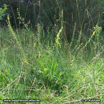 Kleiner Odermennig (Agrimonia eupatoria), Wuchsform
