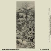 Europäische Lärche; Larix decidua; Historisches Bild