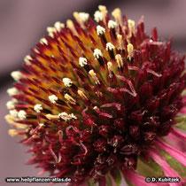 Der Blasse Sonnenhut (Echinacea pallida) hat weiße Pollen. Darin unterscheidet er sich vom Schmalblättrigen Sonnenhut, der gelbe Pollen hat.