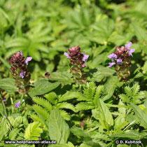 Gewöhnliche Braunelle (Prunella vulgaris),