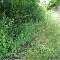Schwarznessel (Ballota nigra), Standort am Wegrand