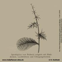 Gewöhnliche Berberitze; Berberis vulgaris; Historisches Bild