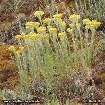 Sand-Strohblume (Helichrysum arenarium), Wuchsform