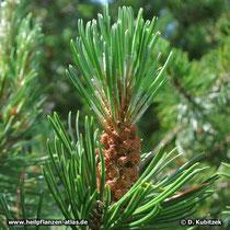 Männliche Blüten der Latschenkiefer (Pinus mugo)