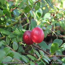 Cranberry (Vaccinium macrocarpon)