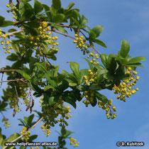Gewöhnliche Berberitze (Berberis vulgaris), Blühender Zweig