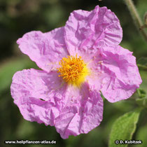 Zistrose (Kretische Zistrose, Cistus creticus)