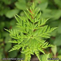 Szechuan-Liebstöckel (Ligusticum chuanxiong), Blatt
