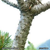 Zweig der Latschenkiefer ohne Nadeln