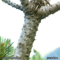 Zweig der Latschenkiefer (Pinus mugo) ohne Nadeln