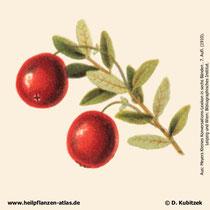 Cranberry; Vaccinium macrocarpon; Historisches Bild