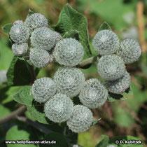 Filz-Klette (Arctium tomentosum), Blütenknospen
