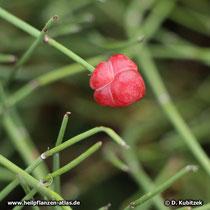 Chinesisches Meerträubel (Ephedra sinica)