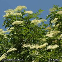 Holunder (Sambucus nigra) Zweige mit Blütenständen